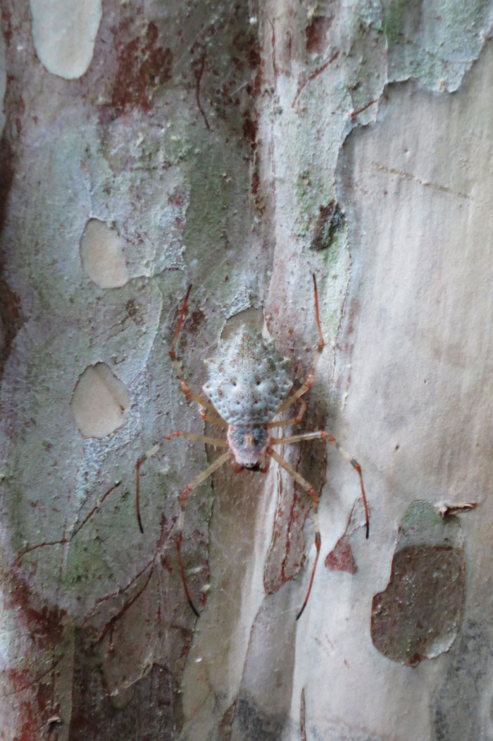 A well camouflaged spider on tree.