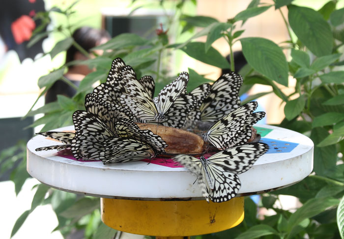 Butterflies feeding at Taipei Zoo
